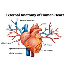 Anatomy of the human heart vector