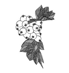 hawthorn berries drawing vector image