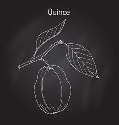 Quince cydonia oblonga fruit tree branch vector