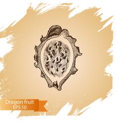 Sketch - dragon fruit vector