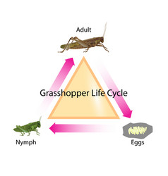 grasshopper life cycle vector image