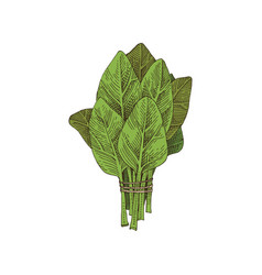 Hand drawn spinach bunch vector