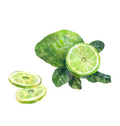 sliced bergamot watercolor on a white background vector image