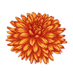 beautiful yellow dahlia isolated on white vector image