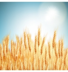 Golden wheat field and sunny day EPS 10 vector image