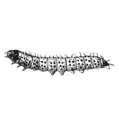 Larva of a leopard moth vintage vector