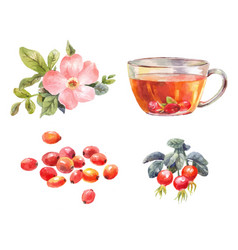 rosehips watercolor tea with rose hips flower vector image vector image