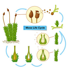 diagram showing moss life cycle vector image
