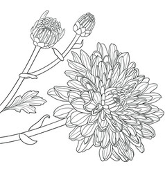 Chrysanthemums hand drawn vector