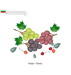 Ripe grapes and cherries popular fruit in bulgari vector