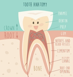 tooth anatomy funny tooth concept of healthy vector image