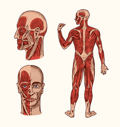 human anatomy muscular and bone system of the vector image