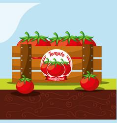 tomato vegetable always fresh in wood basket vector image