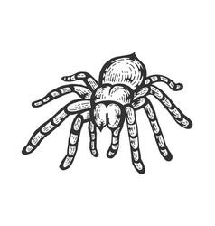 Tarantula spider sketch engraving vector