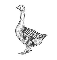 Anser grey goose bird sketch vector