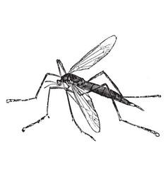 crane fly vintage vector image