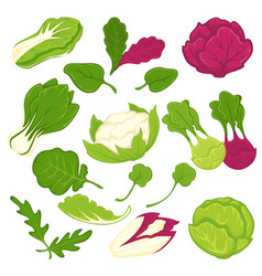 Lettuce salads leafy vegetables isolated vector