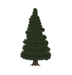 spruce evergreen tree vector image