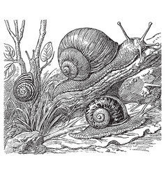 vintage engraving snails vector image