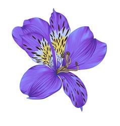 beautiful bright violet alstroemeria vector image