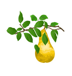 branch of pears with yellow ripe pear and leaves vector image