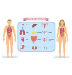 Detailed visual human anatomy vector