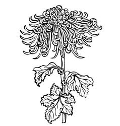 chrysanthemum flower black vector image vector image