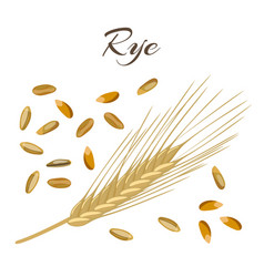 Rye ear and grains vector