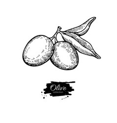 olive branch hand drawn vector image