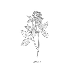 Clover Hand Drawn Realistic Sketch vector