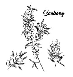 seaberry branches hand drawn ink pen sketch vector image