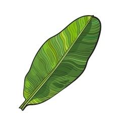 Full fresh leaf of banana palm tree sketch vector
