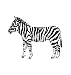 hand drawn zebra vector image
