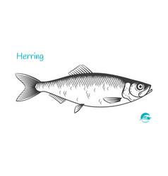 herring hand-drawn vector image