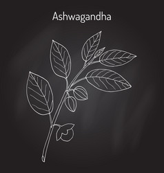 ayurvedic herb withania somnifera known as vector image