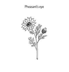 adonis vernalis spring pheasant s eye or false vector image