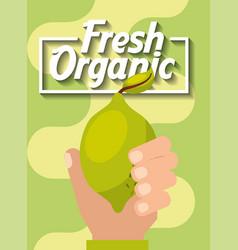 hand holding fresh organic fruit lemon vector image