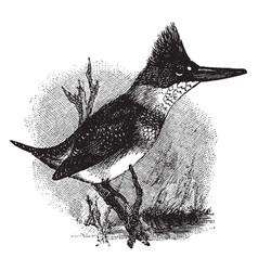 Belted kingfisher vintage vector