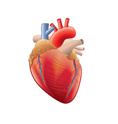 human heart isolated vector image