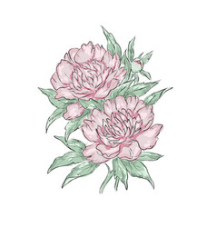 Peonies hand draw of flower vector