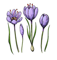 Saffron colorsaffron flower drawing hand vector