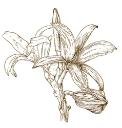 engraving lily vector image