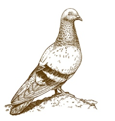 engraving pigeon vector image vector image