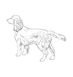 Cocker spaniel hand drawn sketch isolated on vector