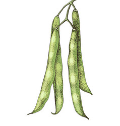 hand drawn green beans isolated on white vector image