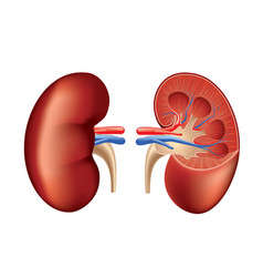 human kidney isolated vector image