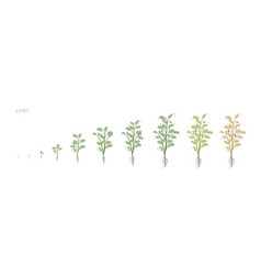 Lentil soybean lens culinaris growth stages vector