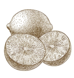 engraving limes vector image vector image
