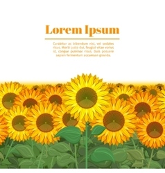 Sunflower field Row of sunflowers vector image vector image