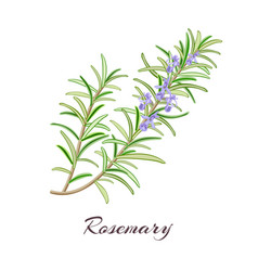 Rosemary herb rosmarinus officinalis vector
